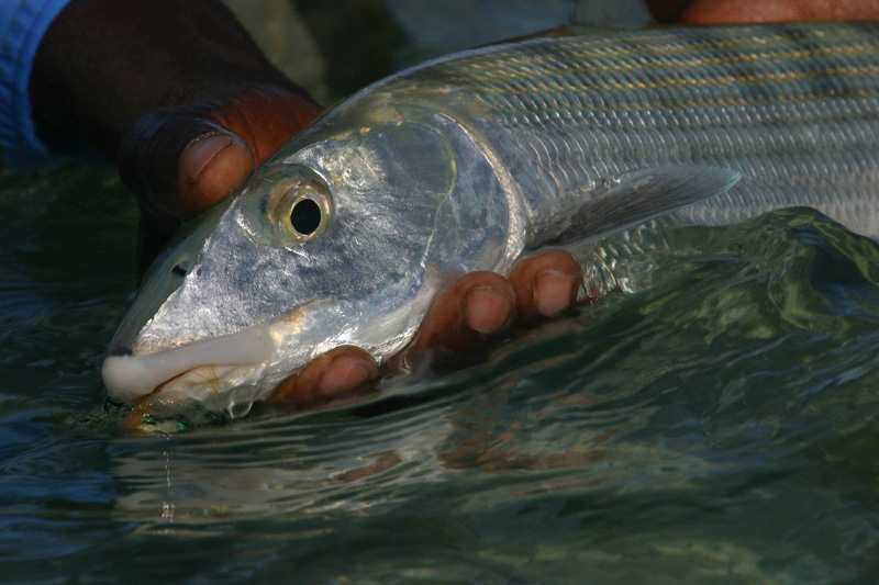 An Abaco Lodge bonefish
