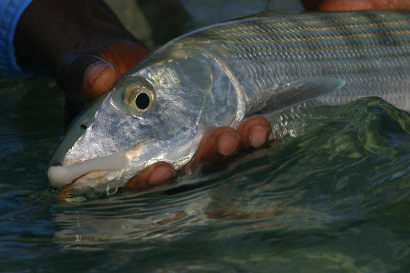 An Abaco Lodge bonefish