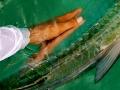 GoFish Belize - Tarpon