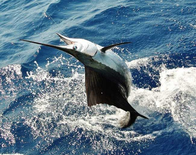 An Islamorada sailfish - - pic courtesy of Bud n Mary\'s Marina