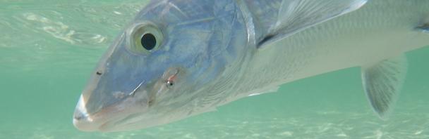 18lb bonefish