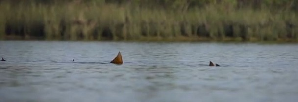 "Fishipedia Video Goodness: tailing redfish in ""The Shallow Season"""