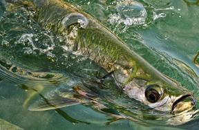 Fishipedia Top 5: Fascinating facts about tarpon