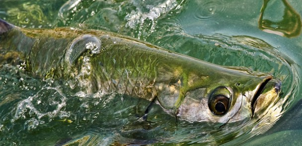 Fishipedia Top 5: Fascinating tarpon facts