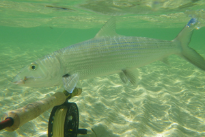 Top 5: Things you didn't know about bonefish