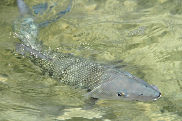 An Abaco bonefish comes to hand