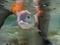 A Bair\'s bonefish returns home