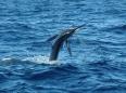Marlin takes flight off Cabo