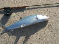 A bonefish caught near the house