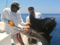 Sailfish: abundant on CR\'s Pacific Coast