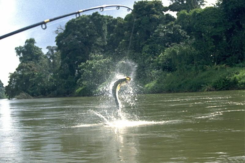 Tarpon fishing, Rio Colorado