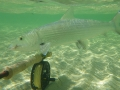 A Cayo Coco bonefish