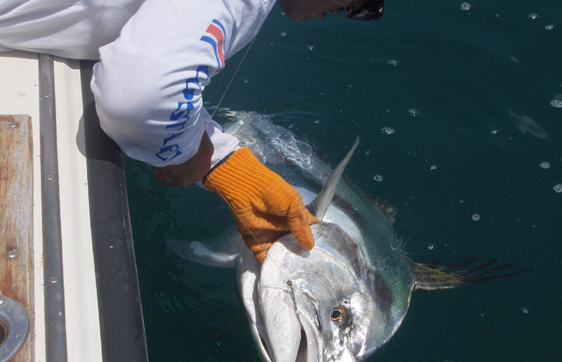 A typical Panama roosterfish