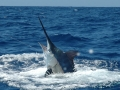 Marlin time at Panama Big Game Fishing Club