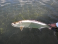 A tarpon returns to fight another day